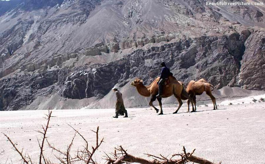 CAMEL'S IN DESERT