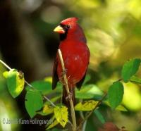 CARDINAL - HOLLINGSWORTH - BFP