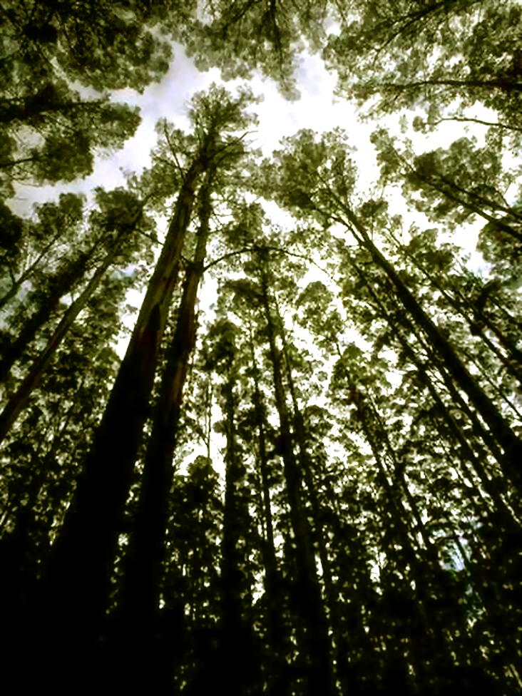 TALL FOREST - ENLARGED.- green