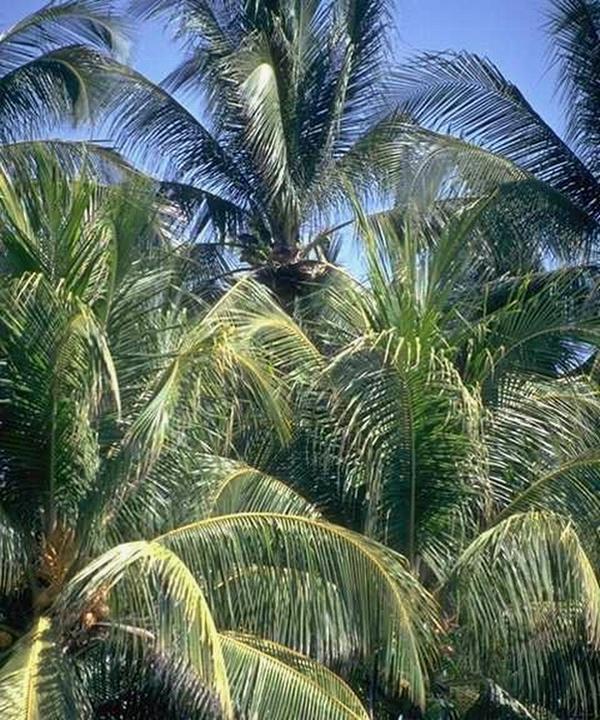 PALM TREE 2 - ENLARGED