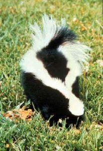 Striped_skunk (1)