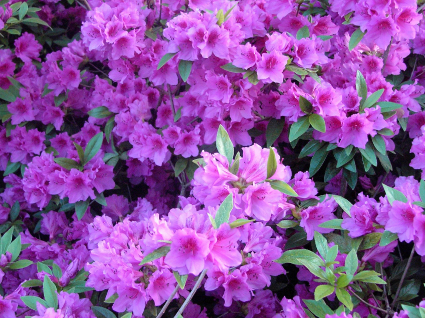 PURPLE AZALEAS UP CLOSE