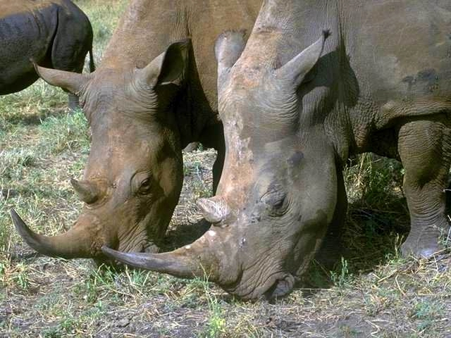 TWO RHINOS EATING