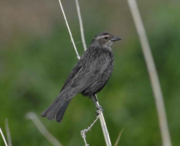 BLACKBIRD ( TRI-COLORED) - PUB DOM