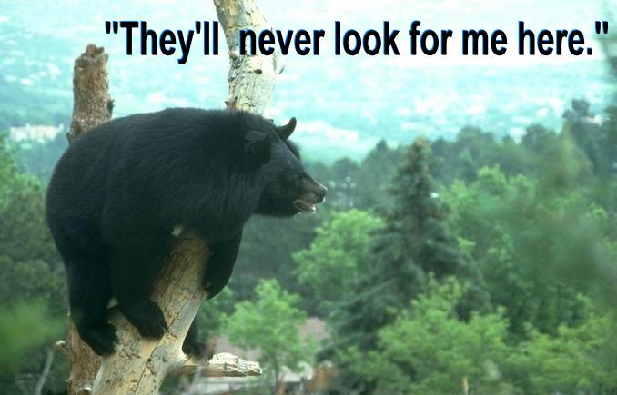 BEAR NAPPING IN TREE - w. text