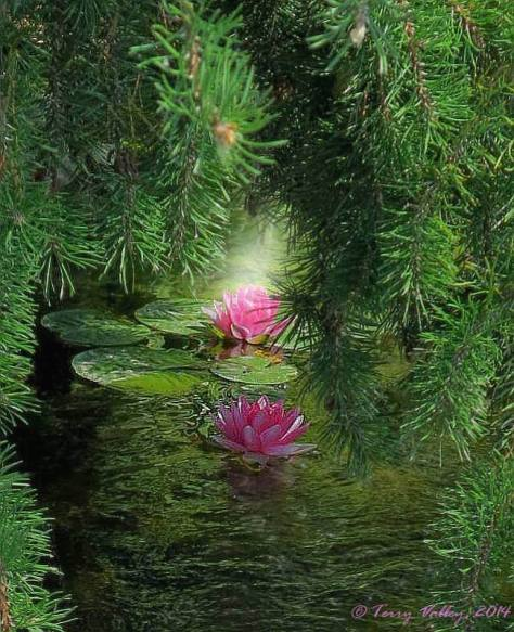 TERRY'S PINK LILY PADS - ed