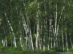 TERRY'S WHITE BIRCHES with name brightened