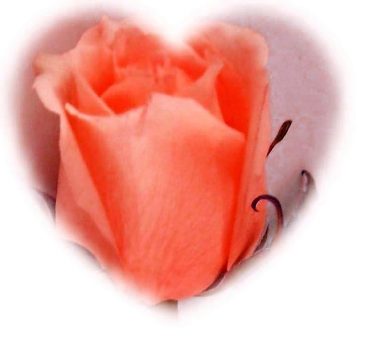 YELLOW ROSE CAMEO HEART- orange challenge