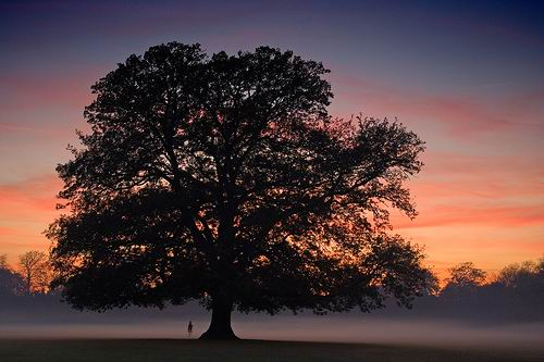 OAK TREE - WALKING IN MIST - CREATIVE COMMONS LICENSE -- FREE