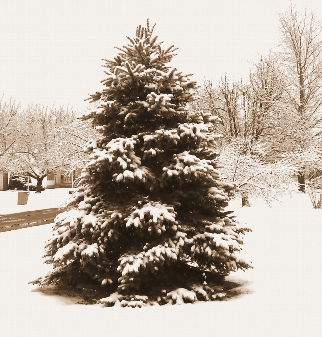 MY SPRUCE - SEPIA W. SNOW - LARGER