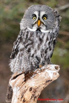 LEE'S OWL PIC -- PETER K. BURIAN
