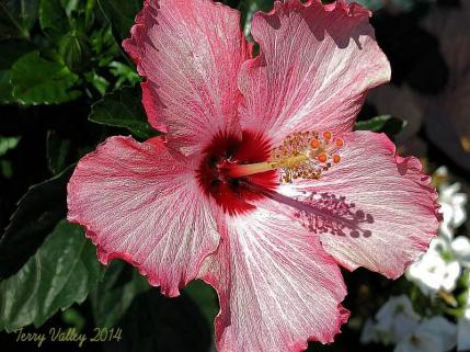 RED HIBISCUS = w. credits