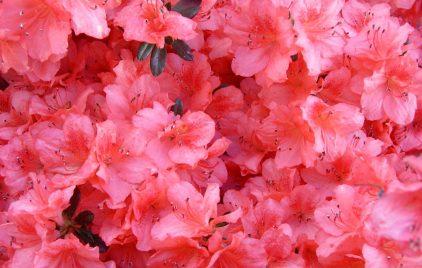 cropped-peach-azaleas-super-close-more-peach.jpg