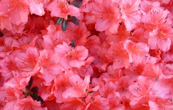 cropped-peach-azaleas-super-close-more-peach.jpg