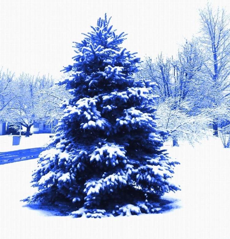 blue-blue-spruce-tree-smaller-for-blog