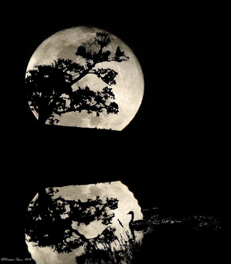 midnight-swan-full-size