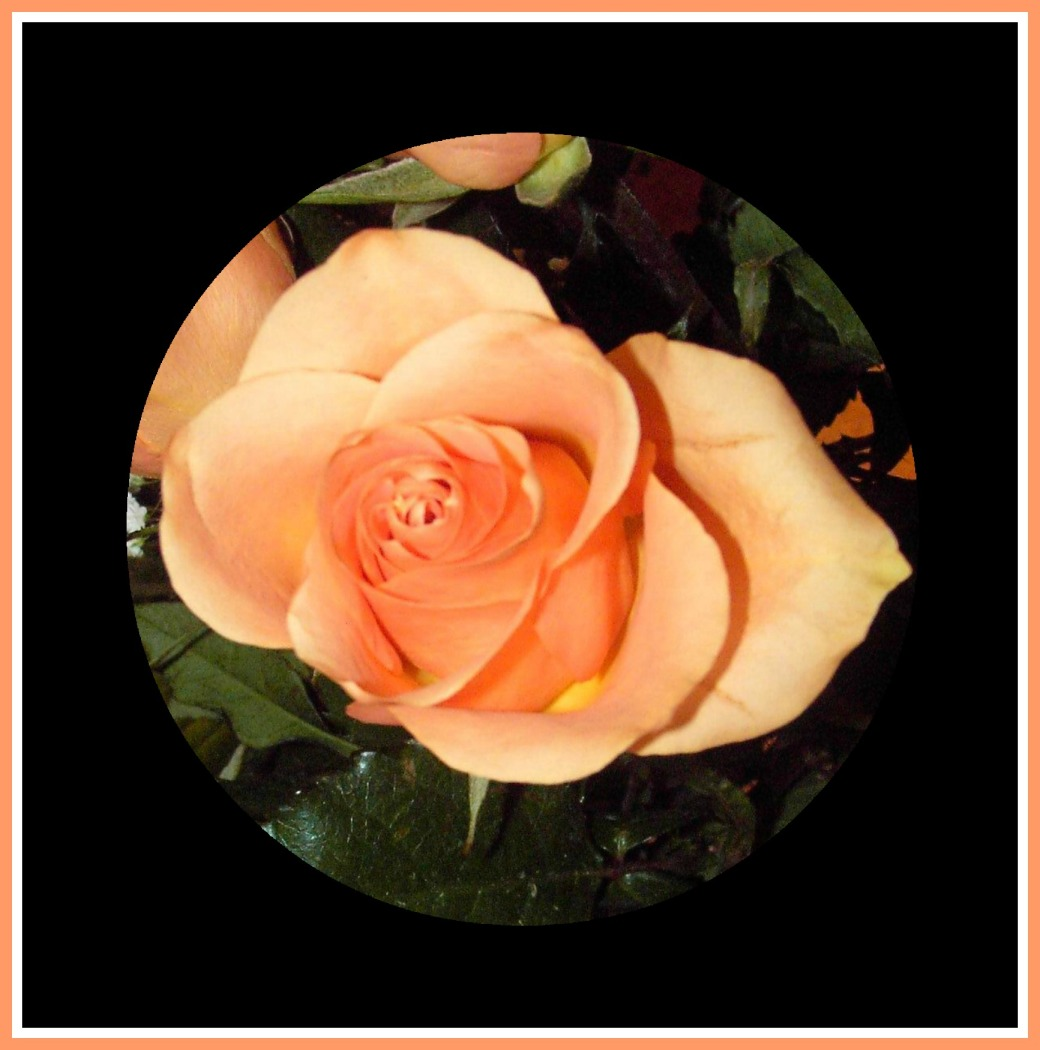 roses-peach-single-in-circle