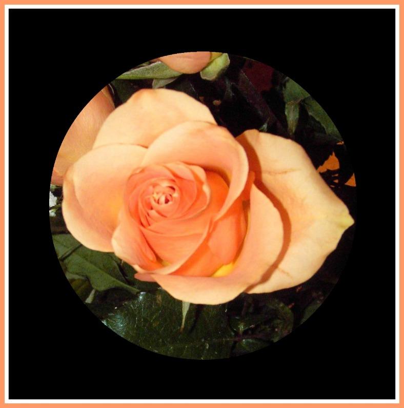 roses-peach-single-in-circle