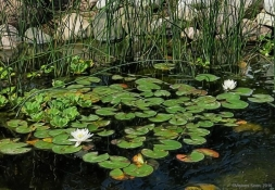 water-lillies-white