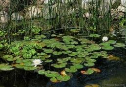 water-lillies-white