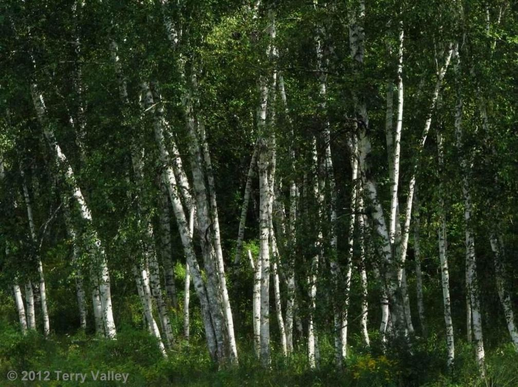 WHITE BIRCH - credits.edited
