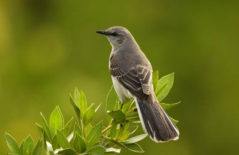 mockingbird -- skeeze -- px