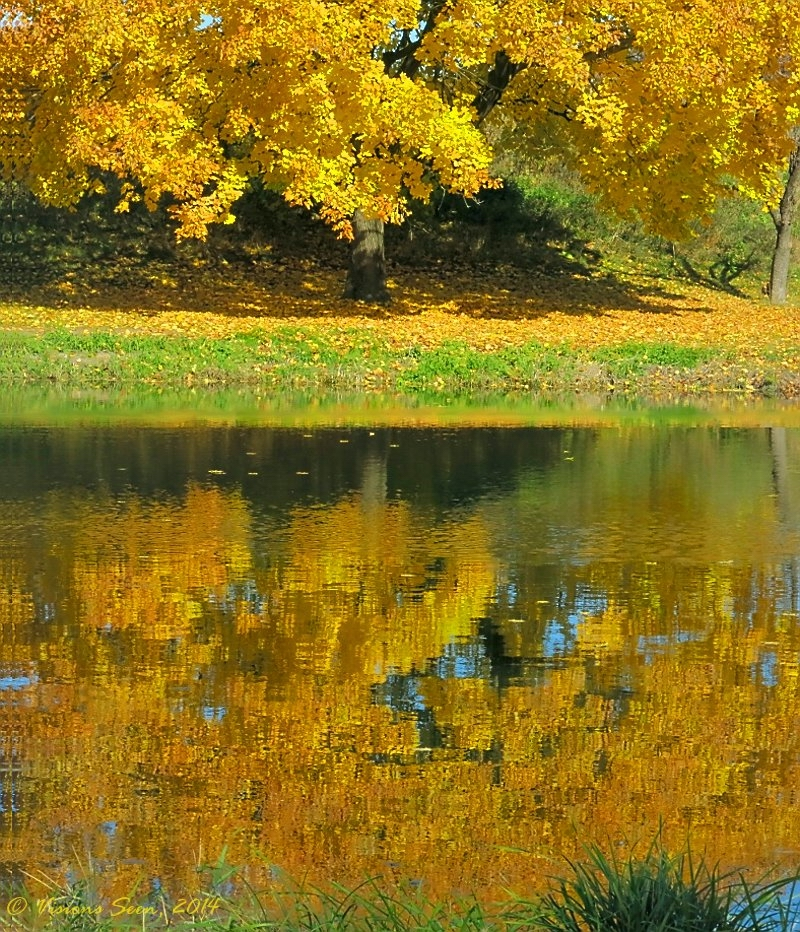 GOLDEN TREE REFLECTION